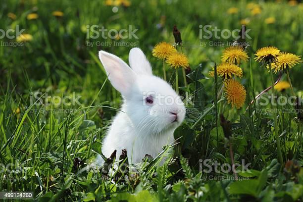 White rabbit closeup picture id499124260?b=1&k=6&m=499124260&s=612x612&h=kmt8wz sfrrr66n mzec8 ecgqwjxetdfcmgztn8fos=