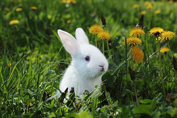 White rabbit closeup picture id499124260?b=1&k=6&m=499124260&s=612x612&w=0&h=imph6lqq9dtfiuhy4bagzx4tlqtoi2wgptt4uptxv3k=