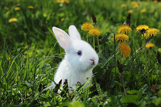 white rabbit close-up - rabbit stock photos and pictures