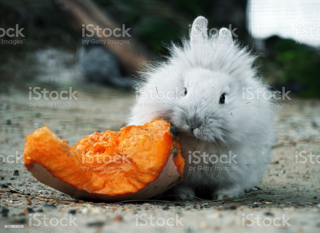 White rabbit eating the pumpkin and looking at camera stock photo
