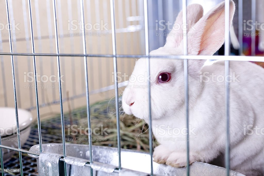 white rabbit for sale easter bunny in a cage stock photo. Black Bedroom Furniture Sets. Home Design Ideas
