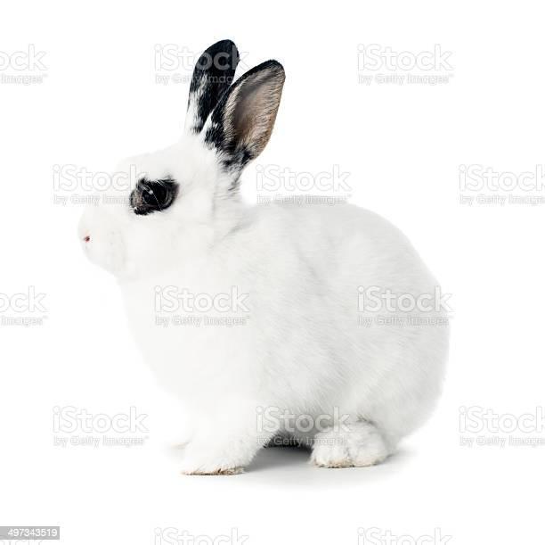 White rabbit isolated on white picture id497343519?b=1&k=6&m=497343519&s=612x612&h=a j2kjyd5bjmb0qu2  rluqvk7wfujyzqgdny6riqo4=