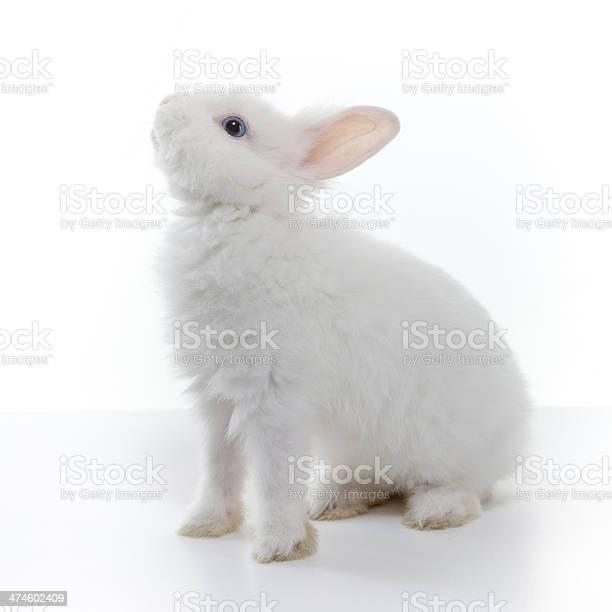 White rabbit isolated picture id474602409?b=1&k=6&m=474602409&s=612x612&h=ichvuxdywu86fopdlv5aibrhozjar9zf5jmghoinyfe=