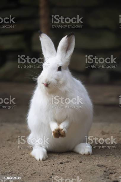 White rabbit looks into the camera picture id1040364044?b=1&k=6&m=1040364044&s=612x612&h=vg50z5vjajb s6ug3bpytjhi08mc5vbzib5qefnl47k=