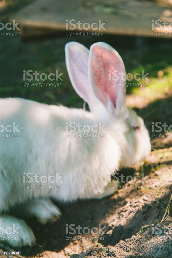 White Rabbit on a ground stock photo