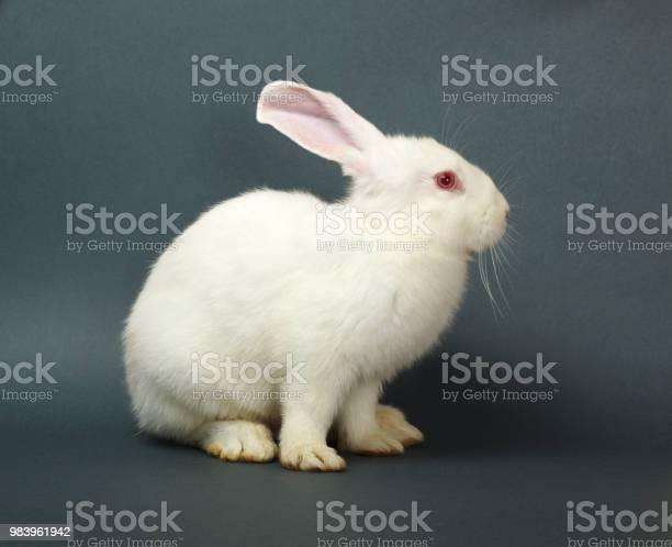 White rabbit on gray background picture id983961942?b=1&k=6&m=983961942&s=612x612&h=hh1dtkuj6ufseljfnrhvhte1uhhse1g3 ku9dr kkoq=