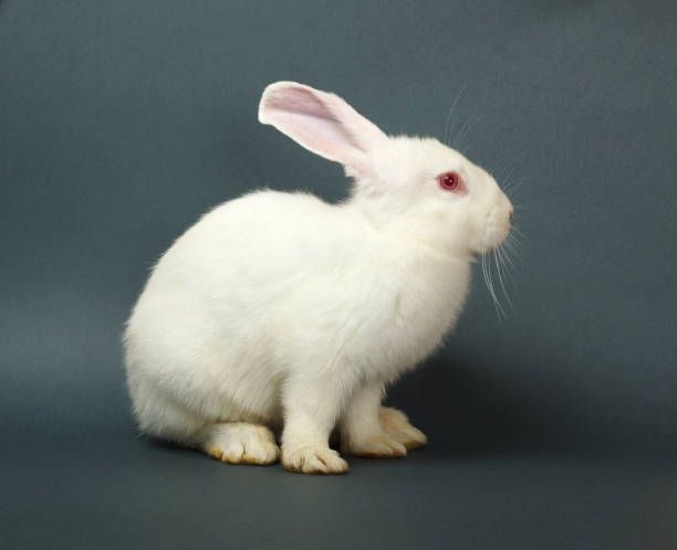 White rabbit on gray background stock photo