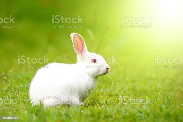 White rabbit on green grass picture id589563394?b=1&k=6&m=589563394&s=612x612&h=egqtblscmyjbu05vmrum2nw2phozpotugvk2wfv4sy8=