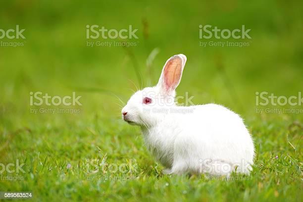 White rabbit on green grass picture id589563524?b=1&k=6&m=589563524&s=612x612&h=0fwcq9mpfo7nb xdsuvrw jlt4fkmkuysjti8rxuff8=