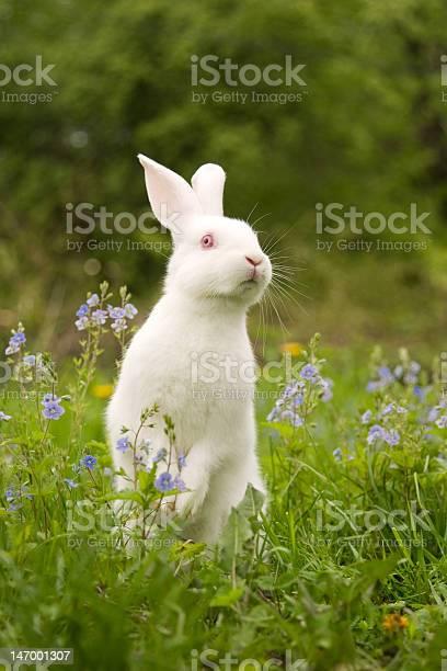 White rabbit on hind legs in grassy field picture id147001307?b=1&k=6&m=147001307&s=612x612&h=4hvao3whvlkkuvcnawf2ojdqjfdjlpyu6zxgp8lhiqa=