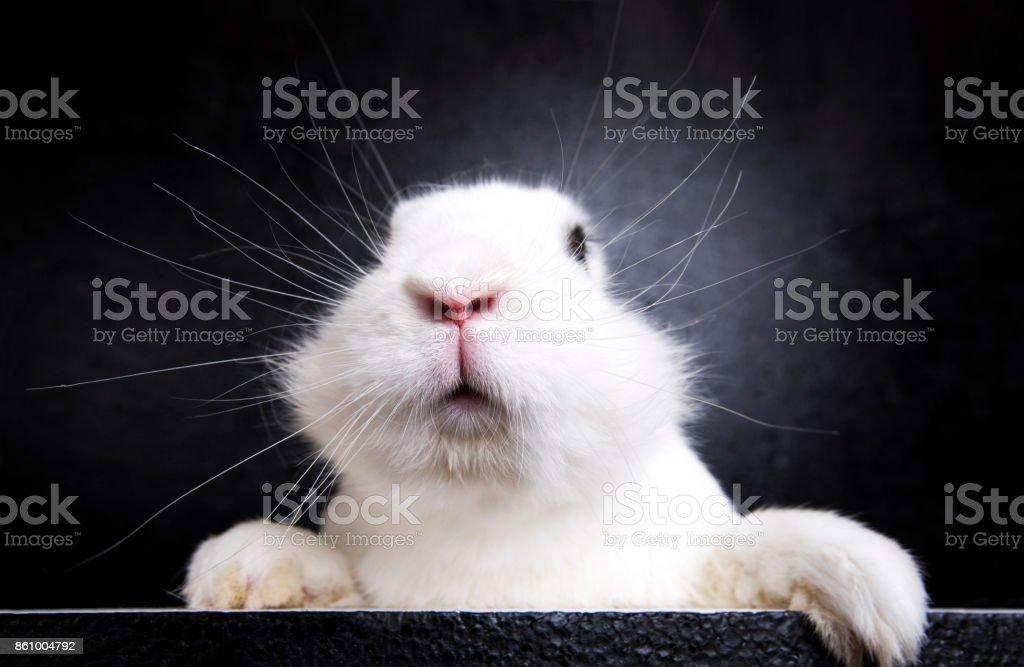 White rabbit on the black background in the studio stock photo