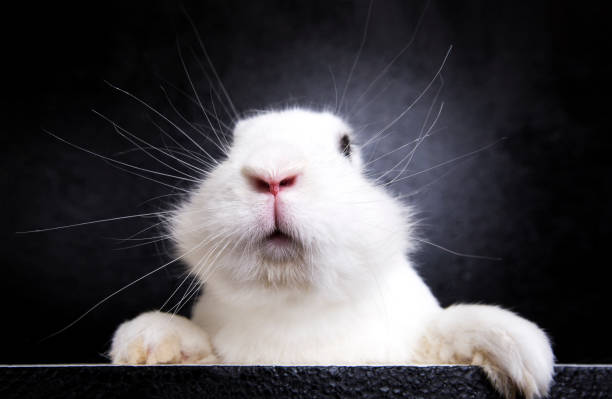 White rabbit on the black background in the studio stock photo