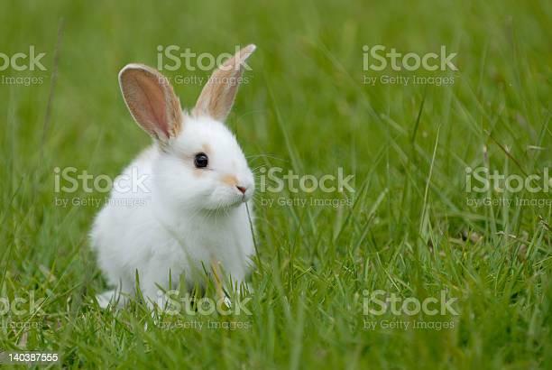 White rabbit on the grass picture id140387555?b=1&k=6&m=140387555&s=612x612&h=as5tbxmj gfnd1xirgcytsmyalpnhztna vdourchpc=