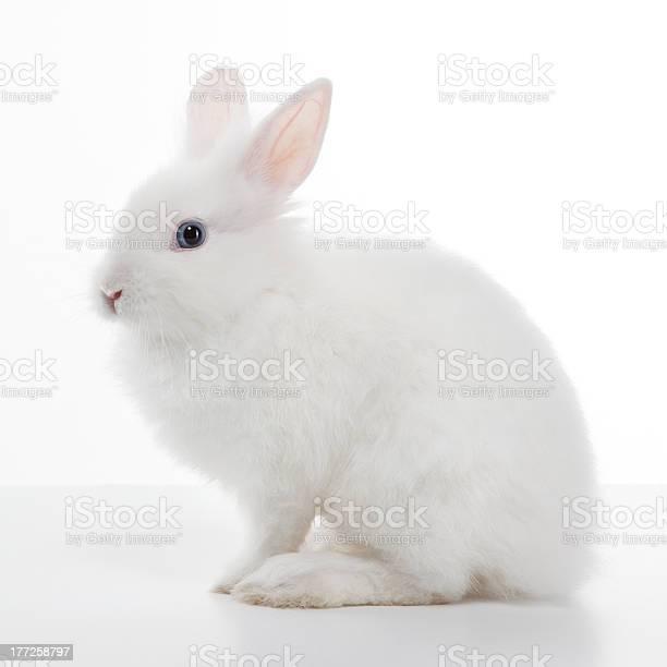 White rabbit picture id177258797?b=1&k=6&m=177258797&s=612x612&h=nlh homrn9vpr6ktppwmvrksxwss9kfpmsq1uiuykse=
