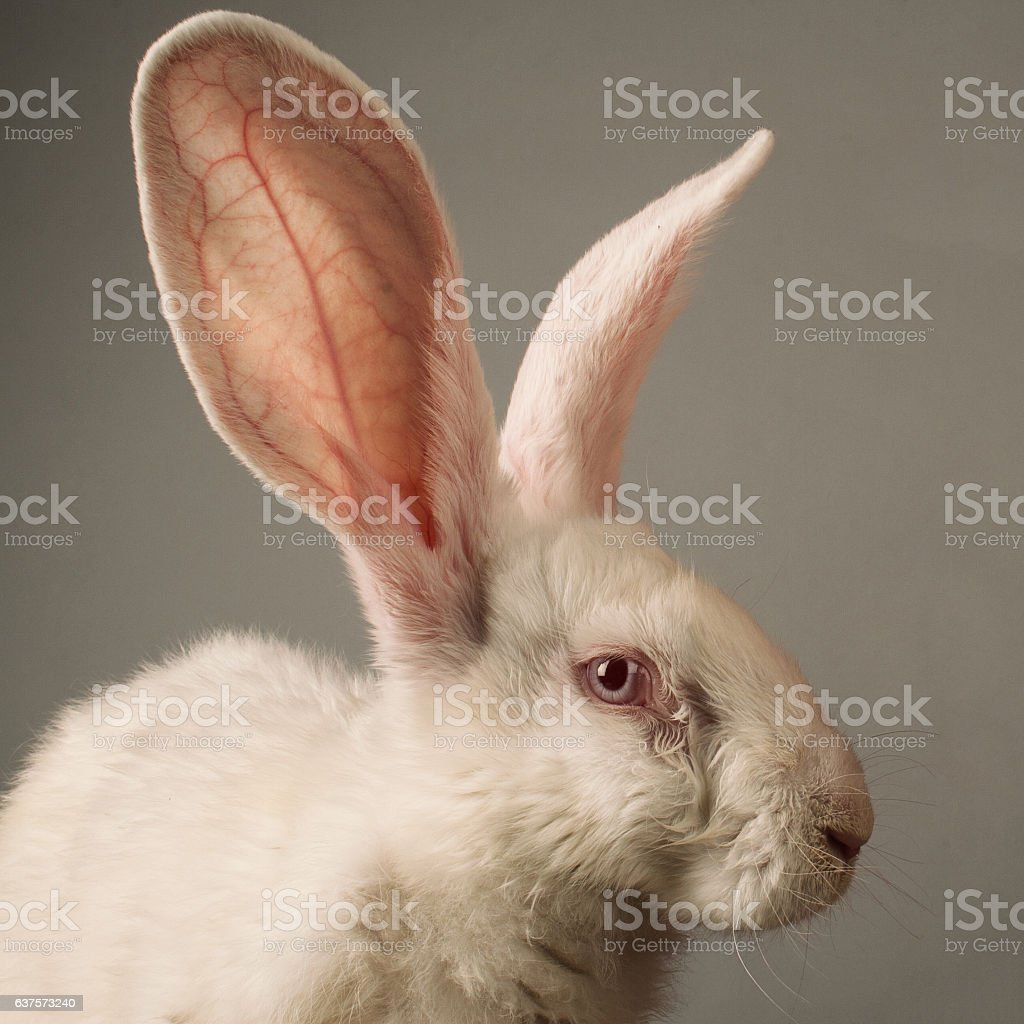 White rabbit portrait - Photo