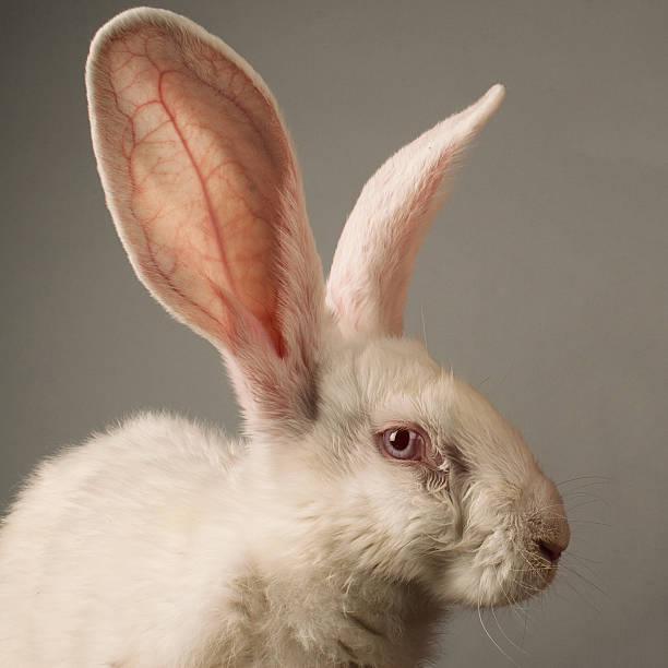 White rabbit portrait stock photo