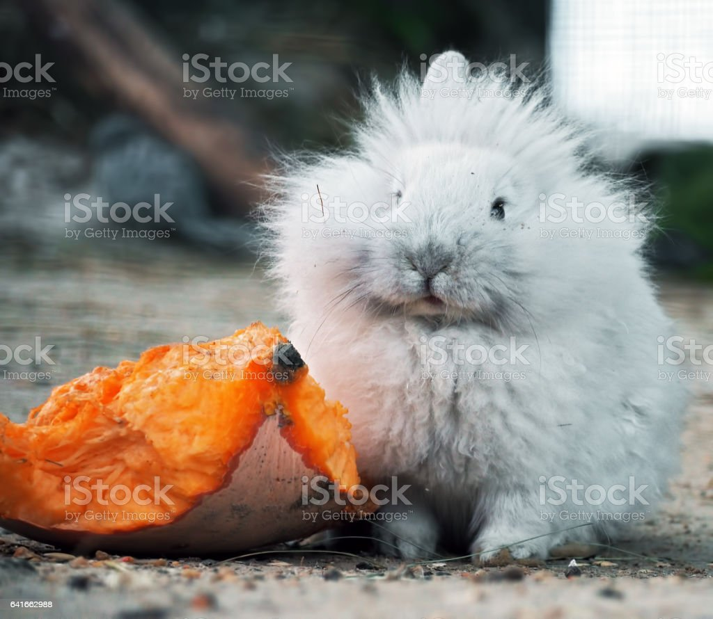 White rabbit sitting near the pumpkin and looking at camera stock photo