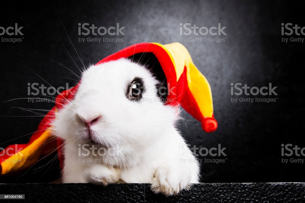 White rabbit with a joker cap on a black background stock photo