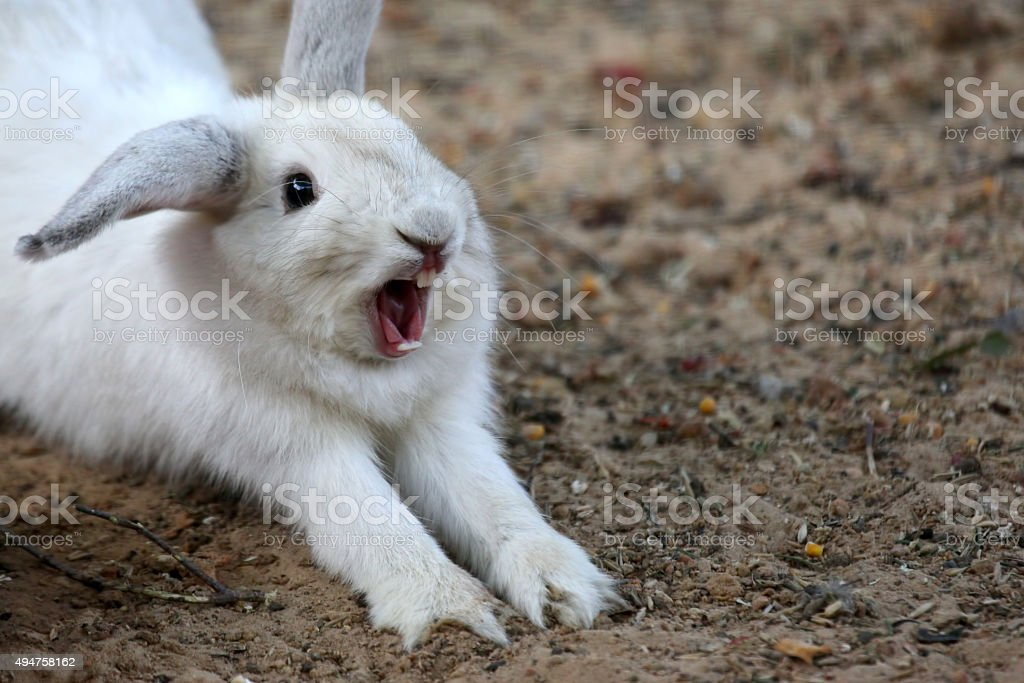white rabbit with his mouth open - Royalty-free 2015 Stock Photo