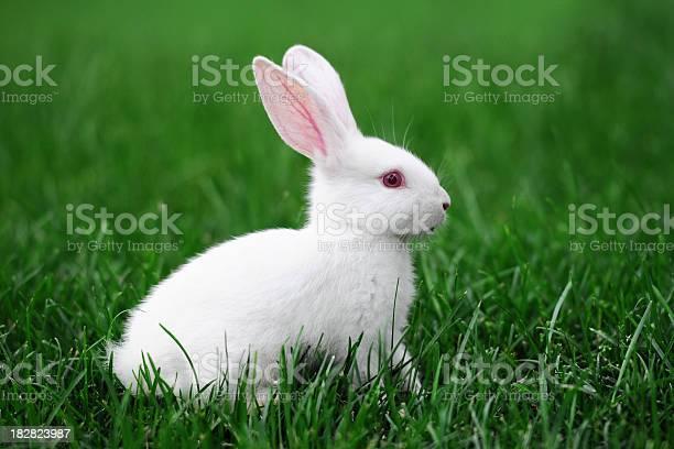 White rabbit xlarge picture id182823987?b=1&k=6&m=182823987&s=612x612&h=bb0gh8gui05n9tyaqmanthw7poke4uhbxzfykeklxo8=