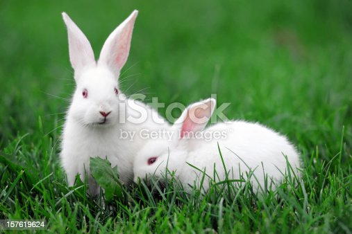 Tow white rabbits on the grass