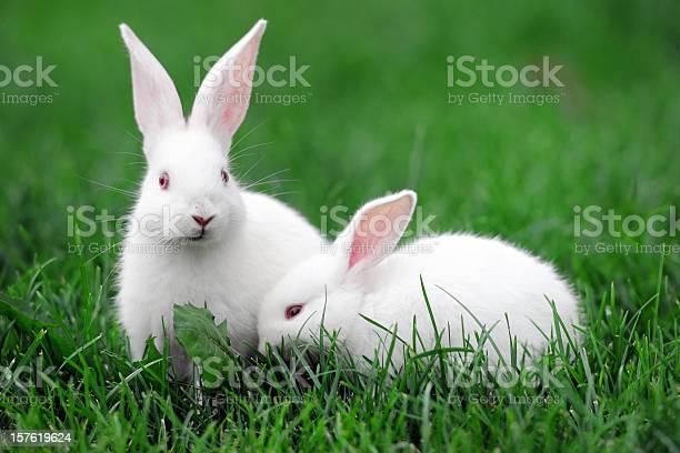 White rabbits xlarge picture id157619624?b=1&k=6&m=157619624&s=612x612&h=nxgbem4u1kw2mghihxcjb7y lgxdrosfzbudfi9f p8=