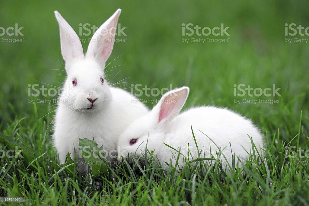 White Rabbits - XLarge stock photo