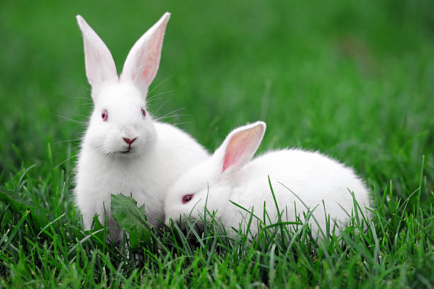 white rabbits - xlarge - rabbit stock photos and pictures