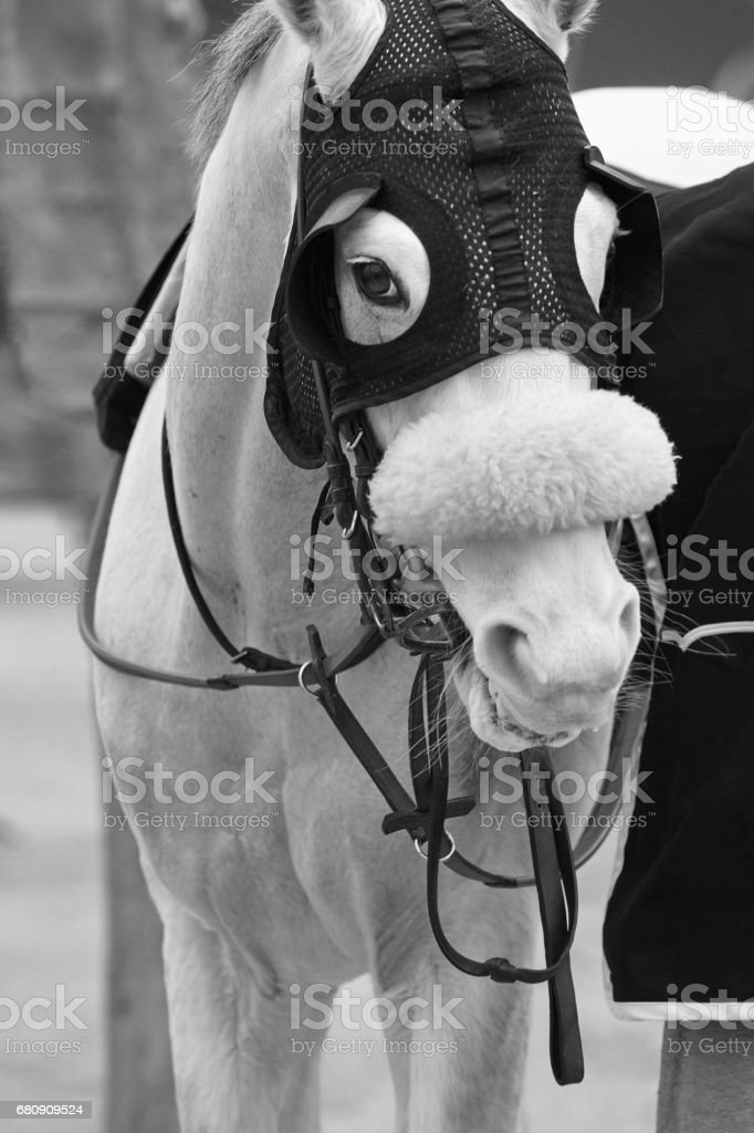 White race horse head with blinkers. Paddock area. royalty-free stock photo