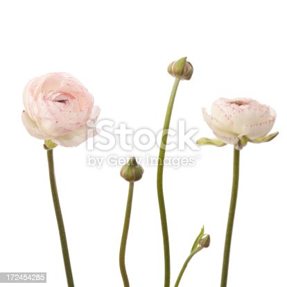 White ranunculus flowers on white background