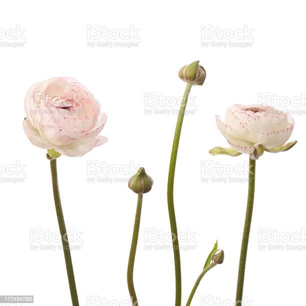 White ranunculus flowers picture id172454285?b=1&k=6&m=172454285&s=612x612&h=v60sd66qminaxvgiotg3 gttm9cytkeeqwddm05mph4=
