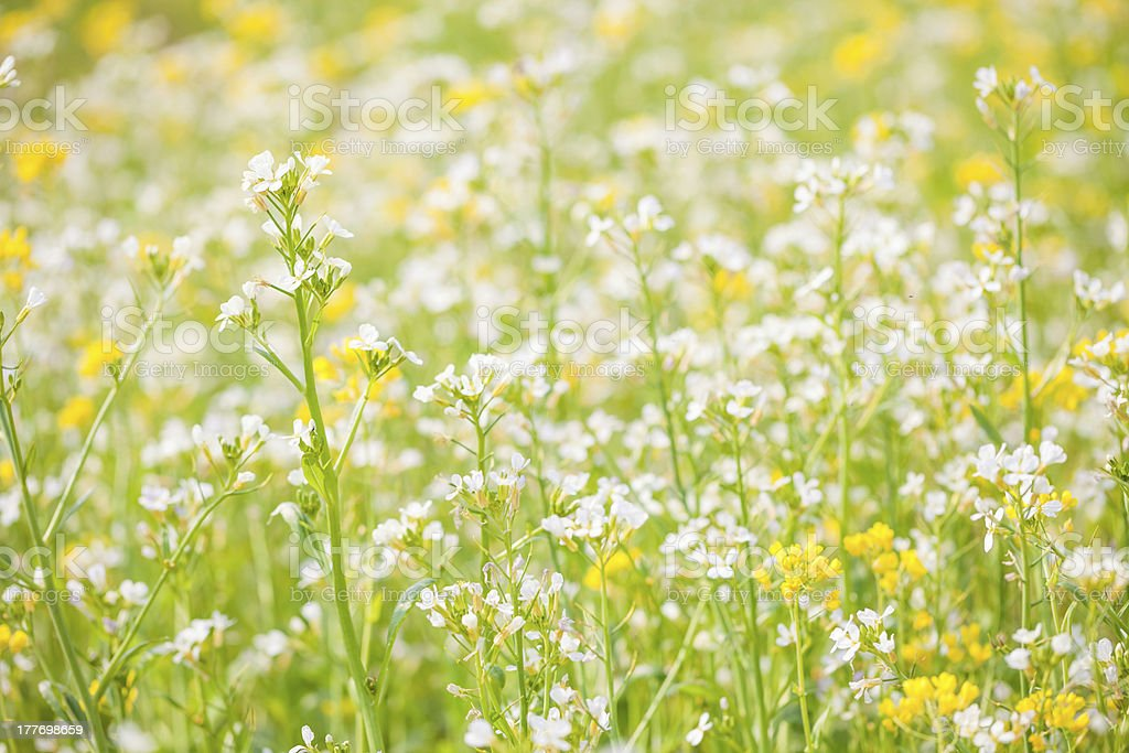 white rape flower royalty-free stock photo