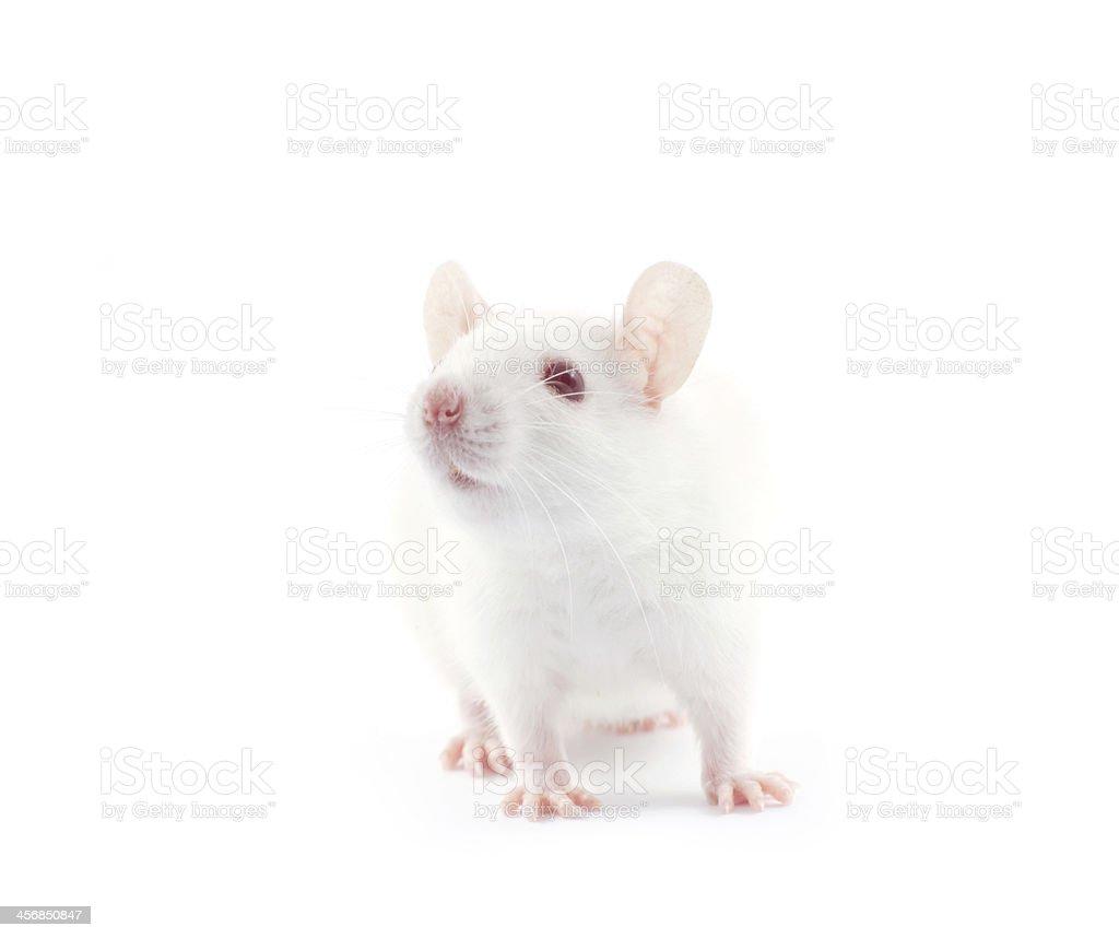 White rat isolated on white background stock photo