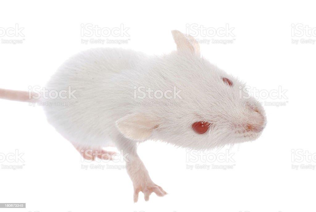 white rat royalty-free stock photo