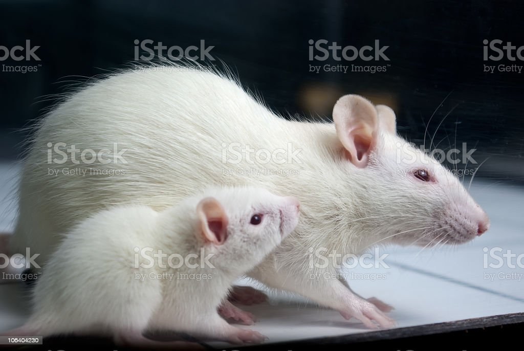 White Rat With Baby On Open Field Board Stock Photo Download Image Now Istock,Kangaroo Paw Print
