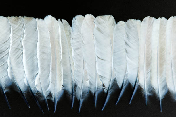 white raven feathers - hair line surface stock photos and pictures