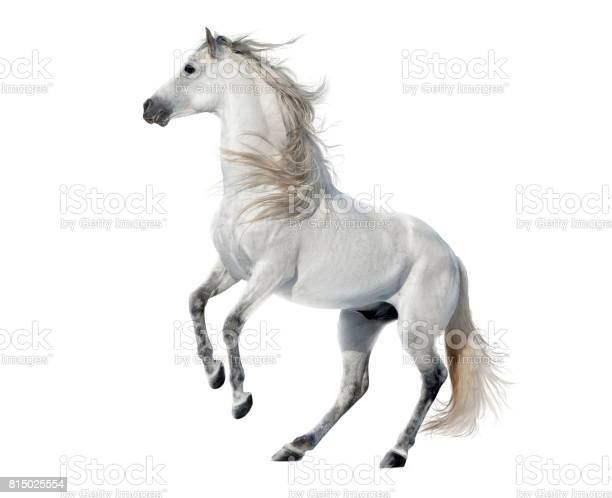 White rearing andalusian stallion isolated on white picture id815025554?b=1&k=6&m=815025554&s=612x612&h=1c1ofqtsnnyh9dqr7li6a5lwupqcs5553p6h9lvzz3o=