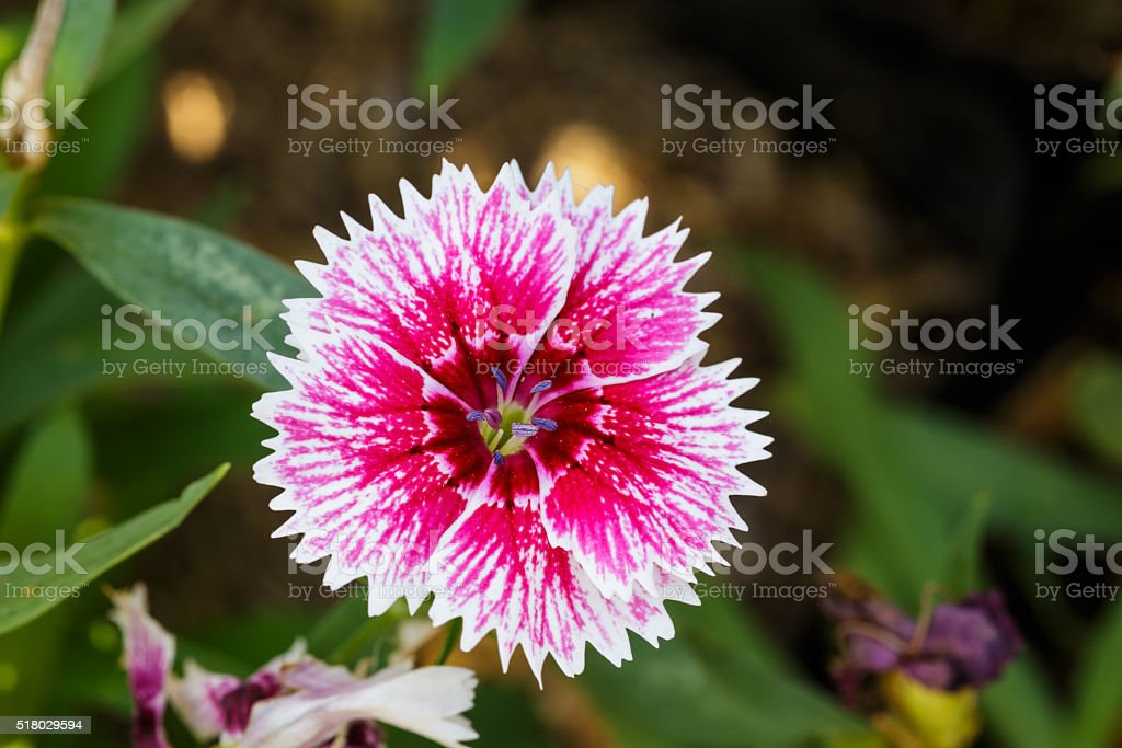 White red dianthus Chinensis Flowers in the garden stock photo