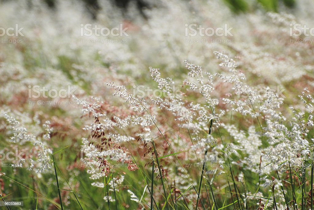 white red grass - Royalty-free Bright Stock Photo
