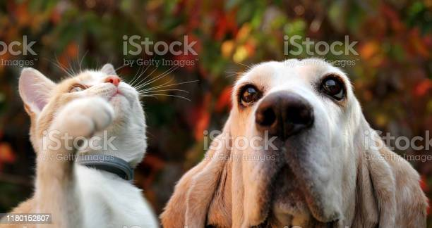 White red kitten and basset hound on autumn background picture id1180152607?b=1&k=6&m=1180152607&s=612x612&h=9b zberbdslc1wbzpflbjk6kmv0lvnm6 kojlrmhmr4=
