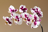 White red orchid branch on brown background