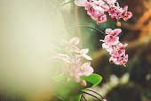 White red Phalaenopsis Orchid in distance with blurred foreground