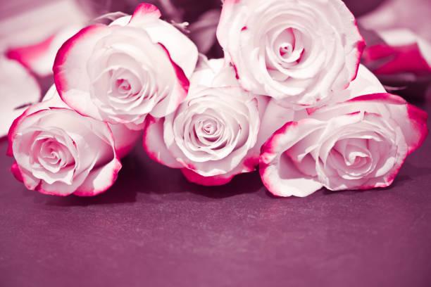 Weiße rote Rose Blumen. Rosen – Foto