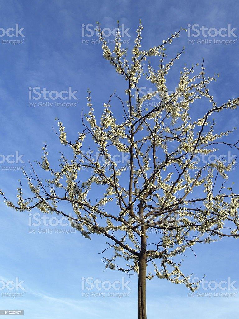 White Redbud Tree - Cercis Canadensis 'Alba' in Spring stock photo