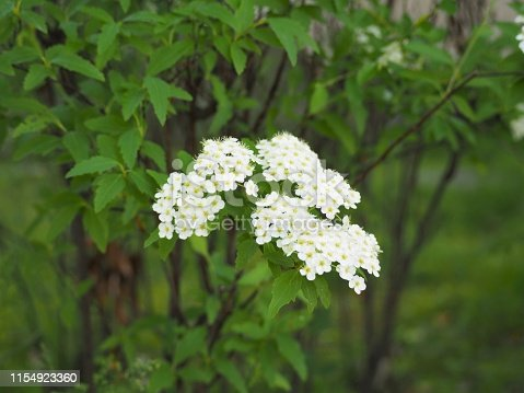 White reeves spirea flowers blossoming in an early summer garden