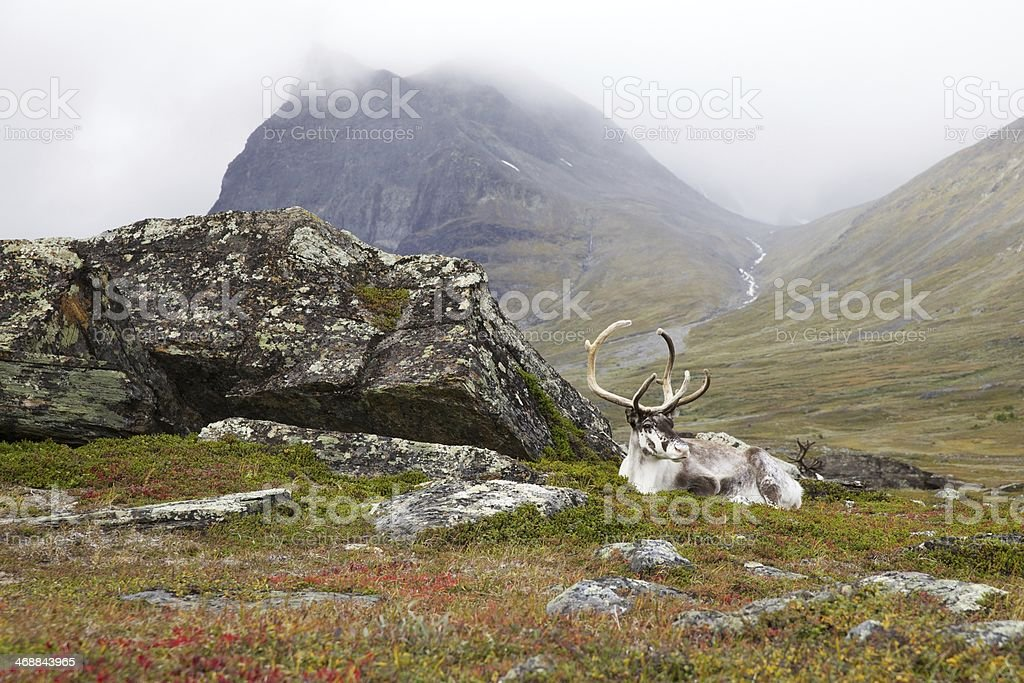 White reindeer in Lapland, at Kebnekaise stock photo