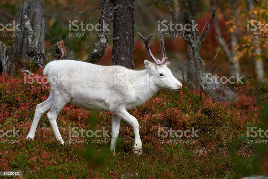 White reindeer stock photo