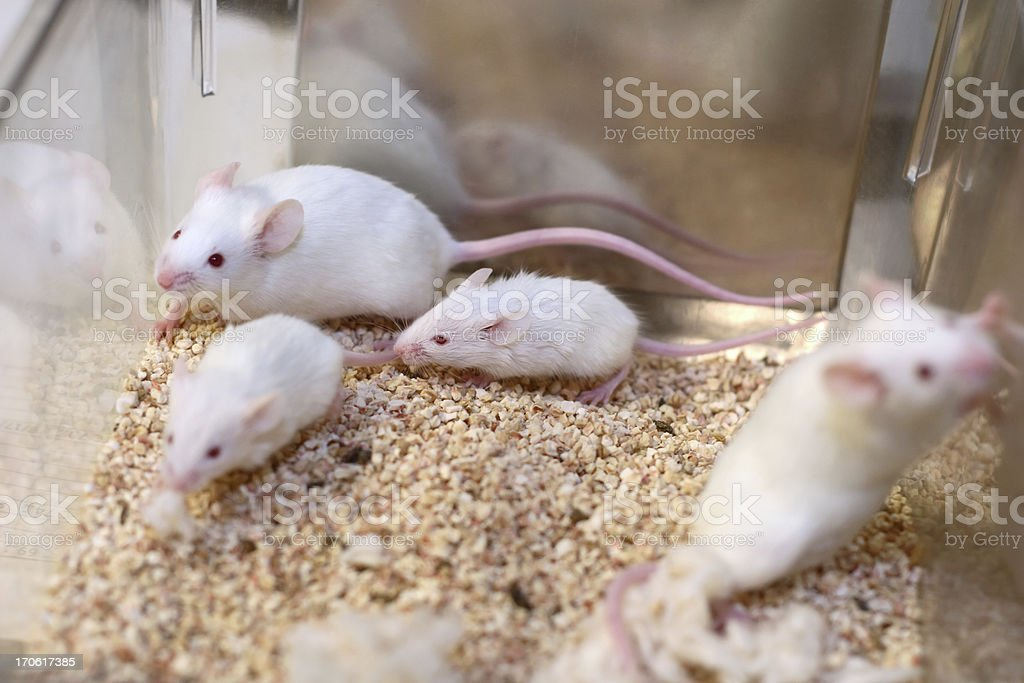White Research Mice stock photo