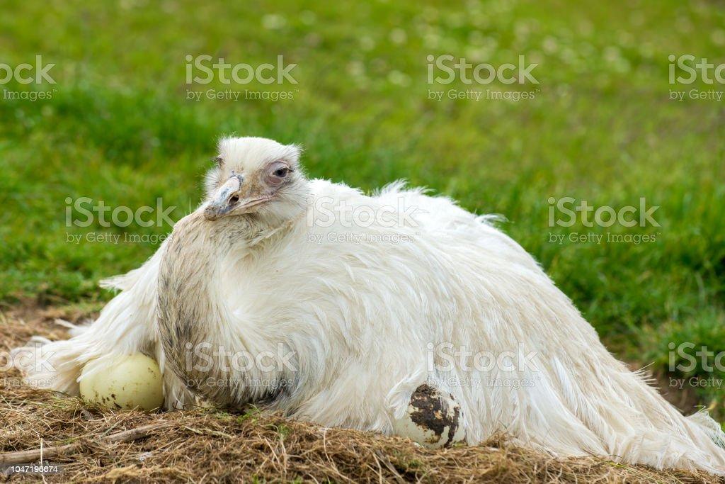 white rhea breeding americana stock photo
