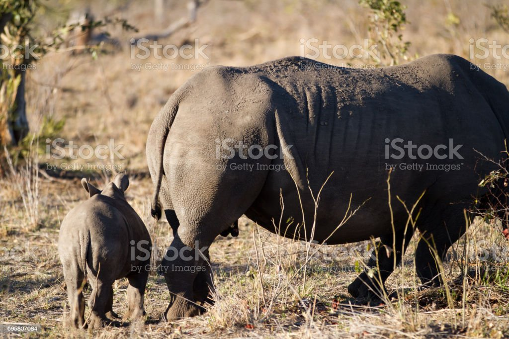 white rhino and her cub strolling in the kruger park stock photo